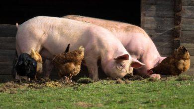 Photo of Raising Pigs — Part 1