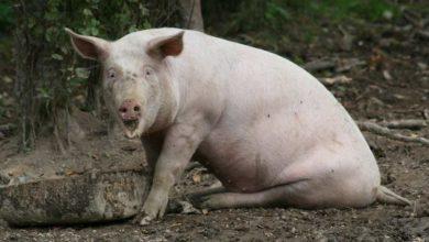 Photo of Raising Pigs – Part 3