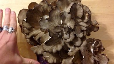 Photo of Maitake Mushrooms
