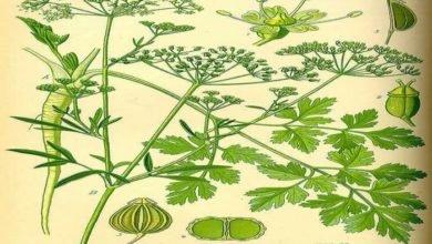 Photo of Herbs of Zaytuna Farm – Parsley