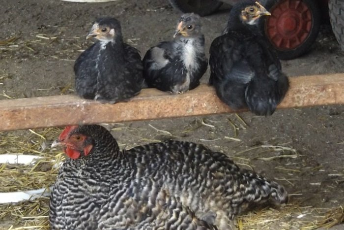 A free-range hen resting with her chicks